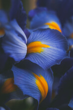 Beautiful Blue Iris Flower Close Up Macro Shot Shallow Dof