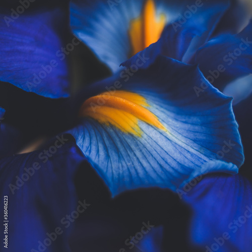 Obraz beautiful blue iris flower close up macro shot shallow dof - fototapety do salonu