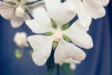 marshmallow flower close up macro   on blue background  medically extremely useful plant
