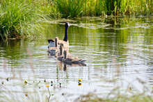 Canada Goose With Newly Hatched Chicks, Swimming In The Water, Soft Yellow Chicks