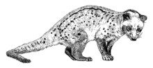Hand Drawn Realistic Sketch Of Asian Palm Civet Or Toddy Cat, Vector Illustration