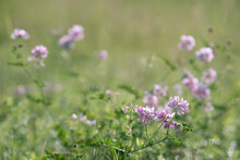 Securigera Varia (synonym Coronilla Varia), Commonly Known As Crownvetch Or Purple Crown Vetch, Is A Low-growing Legume Vine.