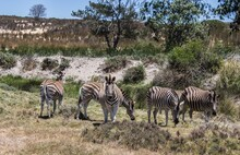 Horizontal Shot Of Some Zebras Pasturing In Grassland Under The Clear Sky
