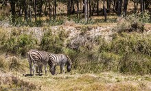 Beautiful View Of Two Zebras Grazing In A Pasture
