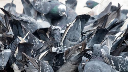 Fotografía Bustle hustle and bustle among city pigeons are gregarious birds.