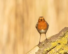 Fall Robin Redbreast (Erithacu...