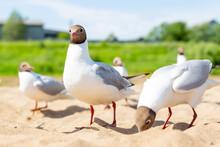 Black-headed Gull, River Gull,...
