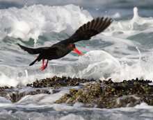 Black Oystercatcher In Flight ...