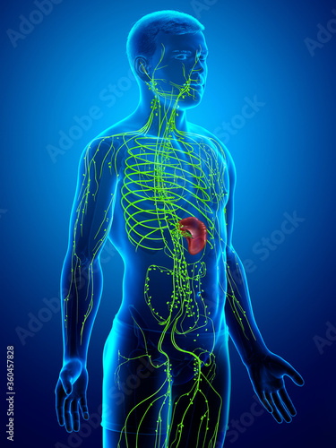 3d rendered medically accurate illustration of a male lymphatic system Canvas Print