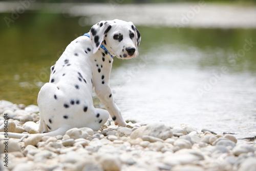 Photo cane dalmata vicino all'acqua