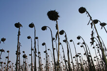 Withered Sunflowers In The Autumn Field. Mature Dry Sunflowers Are Ready For Harvest. Bad Harvest Of Sunflower On The Field. Blackened Unclean Abandoned Bad Harvest In Bulgaria