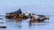 Three Grey Seals, Two Bulls And Female, Lounging On Seaweed Covered Rocks In The Ocean