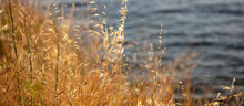 The Common Dry Wild Oat, The A...