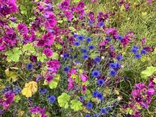 Wilde Malven- Und Kornblumen-Blüten Am Feldrand Im Frühling