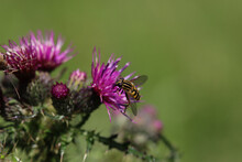 Drone Fly  On Thistle Flower