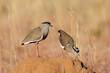 canvas print picture - Two crowned plovers (Vanellus coronatus) standing on an anthill, South Africa.