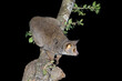 Leinwandbild Motiv Nocturnal greater galago or bushbaby (Otolemur crassicaudatus) in a tree, South Africa.