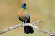canvas print picture Colorful purple-crested turaco (Tauraco porphyreolophus), South Africa.