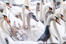 Group Of Swans And A Pigeon Sw...