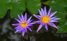 Beautiful Purple Flowers In A Lotus Pond