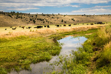 A Watering Hole And Cattle Grazing On A Rance Near PAulina, Oregon. Anch, Paulina, Oregon