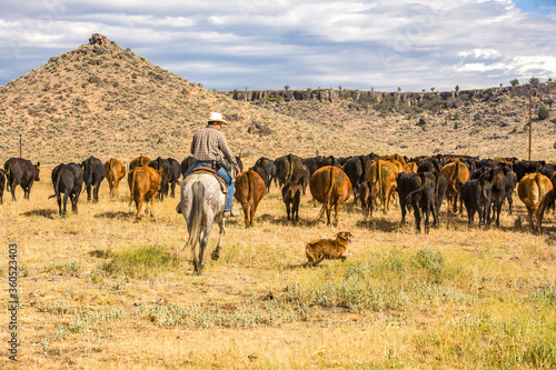 Fényképezés Paulina, Oregon, A cowboy and his dog moving a herd of cattle to another pasture