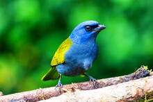 Blue-capped Tanager, Thraupis ...