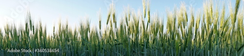Young Green Barley Grass - Panorama Fototapete