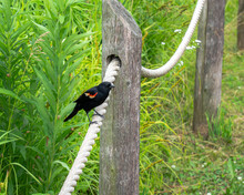 Close Up Of A Male Red-winged Black Bird Sitting On A Wood And Rope Fence Along A Wood Chip Path Near The Lakefront In Chicago With Lush Green Foliage In Background.