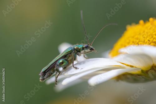 Photo Thick-legged flower beetle (Oedemera nobilis), on Anthemis tinctoria 'E