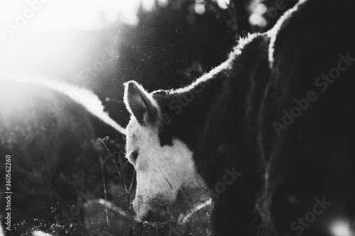 Fotografiet Hereford calf close up in field at sunset in black and white, baby beef cow