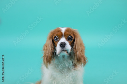 Cuadros en Lienzo Studio Photo of Confused Cavalier King Charles Spaniel Dog on Solid Teal Backdro