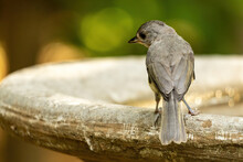 Back View Of An Eastern Phoebe...