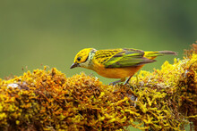Silver-throated Tanager (Tanga...