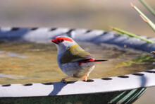 Red-browed Finch (Neochmia Tem...