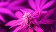 Leinwandbild Motiv Indoor growing of Sativa or Indica cannabis leaves and flowers under infrared LED lights.