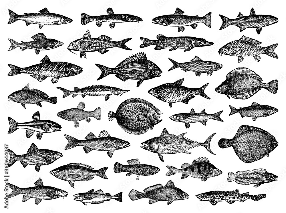 Fototapeta River and sea fish collection - vector vintage engraved illustration from Petit Larousse Illustré 1914