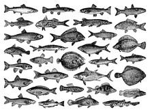 River And Sea Fish Collection - Vector Vintage Engraved Illustration From Petit Larousse Illustré 1914