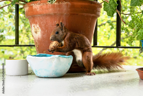 Fotografia a red-haired eurasian squirrel on an urban balcony of an apartment building looking for nuts