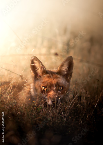 Fotografie, Tablou Fox at sunset