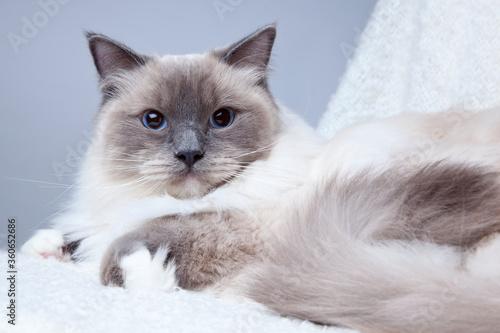 Valokuva Ragdoll cat on grey background