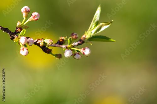 Fototapeta Close up bud of bird cherry at early spring, macro. obraz