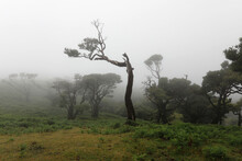 The Laurisilva Forest Fanal, Madeira, Portugal, Europe