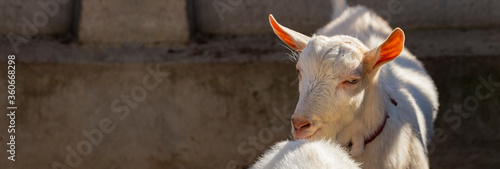 The Saanen, is a Swiss breed of domestic goat Canvas Print
