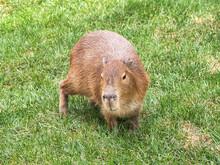 Capybara (hydrochoerus Hydrochaeris) Walking On The Grass