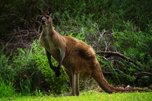 Male Western Grey Kangaroo, Si...