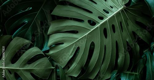 Fotografia, Obraz closeup monstera leaf background, tropical leaf, abstract green leaf texture