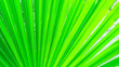 canvas print picture - Trachycarpus palm leaf background. Tropical palm leaves. Concept summer holidays, vacation and relaxation, sea and beach. Close up