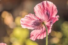 Iceland Poppy - Papaver Nudicaule - Flower Head Closeup View
