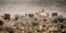 Silver Lake, Oregon, A Cowboy On His Horse Moving Cattle To An Adjacent Desert Pasture On A Ranch Near Silver Lake.